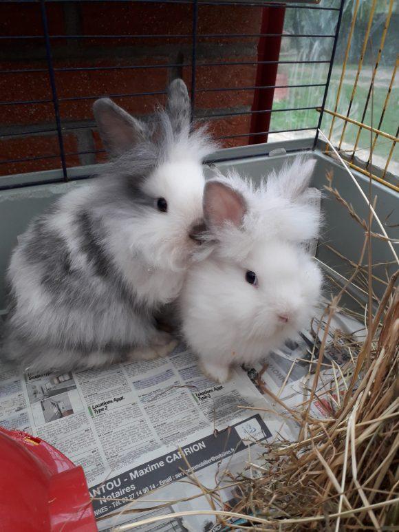 3 bébés lapin nains
